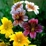 Salpiglossis Bolero Mix - 5 grams - Bulk Discounts available
